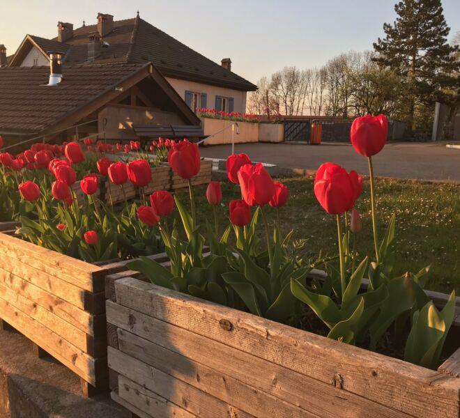 Viuz fleurs tulipes IMG_2469